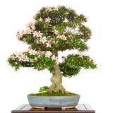Rhododendron αζαλεών ως δέντρο μπονσάι με τα ρόδινα λουλούδια Στοκ φωτογραφία με δικαίωμα ελεύθερης χρήσης