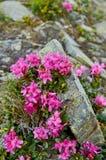 Rhododendron ανθίζοντας λουλούδια στα Καρπάθια βουνά στις άγριες πέτρες Chervona Ruta Ρόδινο σπάνιο υπόβαθρο λουλουδιών στοκ φωτογραφίες με δικαίωμα ελεύθερης χρήσης