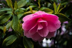 Rhododendron ανοίξεων κρυστάλλου του Πόρτλαντ ` s κήπος Στοκ φωτογραφία με δικαίωμα ελεύθερης χρήσης