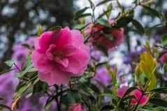 Rhododendron ανοίξεων κρυστάλλου του Πόρτλαντ ` s κήπος Στοκ Εικόνες