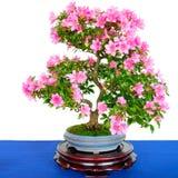 Rhododendron δέντρο μπονσάι indicum με τα ρόδινα λουλούδια Στοκ εικόνες με δικαίωμα ελεύθερης χρήσης
