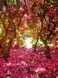 Rhododendron θάμνος στοκ εικόνα