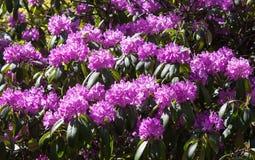 Rhododendron θάμνος Στοκ φωτογραφία με δικαίωμα ελεύθερης χρήσης