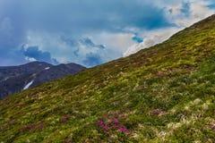 Rhododendron Καρπάθιο Στοκ φωτογραφίες με δικαίωμα ελεύθερης χρήσης