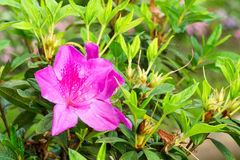 Rhododendron κεφάλι ή αζαλέες λουλουδιών στοκ εικόνες