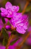 Rhododendron κινηματογραφήσεων σε πρώτο πλάνο λουλούδια dauricum Άνθηση άνοιξη Στοκ φωτογραφία με δικαίωμα ελεύθερης χρήσης