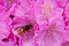 rhododendron λουλουδιών Στοκ εικόνα με δικαίωμα ελεύθερης χρήσης