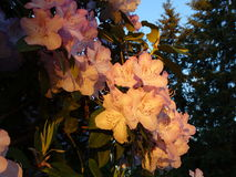 Rhododendron λουλούδια στοκ εικόνες με δικαίωμα ελεύθερης χρήσης