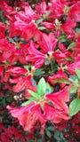 Rhododendron λουλούδια Στοκ φωτογραφία με δικαίωμα ελεύθερης χρήσης