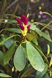 Rhododendron λουλούδι Στοκ Εικόνα