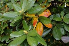 Rhododendron πτώσης Στοκ Φωτογραφία