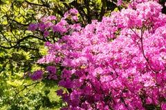 Rhododendron στην άνθιση Στοκ Εικόνα