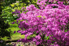 Rhododendron στην άνθιση Στοκ φωτογραφία με δικαίωμα ελεύθερης χρήσης