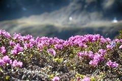 Rhododendron στη φύση Στοκ Εικόνες