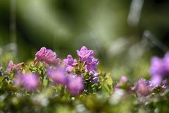 Rhododendron στη φύση Στοκ φωτογραφία με δικαίωμα ελεύθερης χρήσης