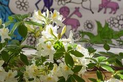 Rhododendron των ειδών Astra στοκ εικόνες