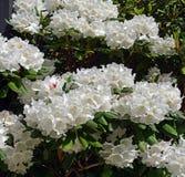 Rhododendron υπόβαθρο φαντασίας με τα φανταστικά λουλούδια την άνοιξη Στοκ φωτογραφία με δικαίωμα ελεύθερης χρήσης