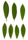 rhododendron φύλλων Στοκ φωτογραφίες με δικαίωμα ελεύθερης χρήσης