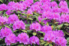 Rhododendron Images stock
