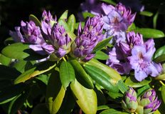Rhododendron. S are commercially grown in the Northwest in California, Oregon and Washington Royalty Free Stock Photography