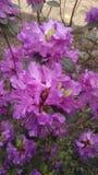 rhododendron Fotos de Stock