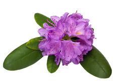 Rhododendron. Pink rhododendron blossom with green leaves stock images