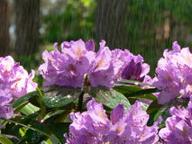 Rhododendron. In my garden captured in the rainy day Stock Image