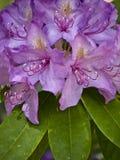 rhododendron Arkivfoton