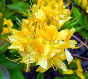 Rhododendron. Elegant yellow rhododendron in park Royalty Free Stock Photo