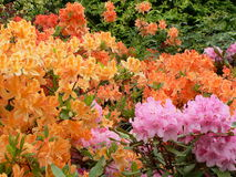 Rhododendron 2 d'Edimbourg Image stock