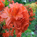 Rhododendron. In the botanical garden Stock Photography