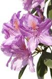 Rhododendron photos stock