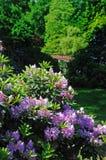 Rhododendron Arkivbild