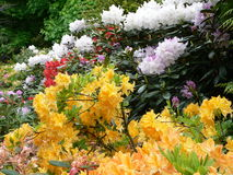 Rhododendron 3 d'Edimbourg photo stock