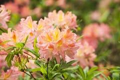 Rhododendron Fotografering för Bildbyråer