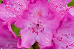 Rhododendron. Macro Stock Photos