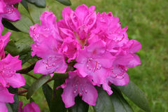 rhododendron Obrazy Stock