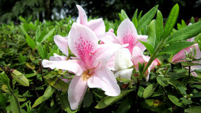 Rhododendron στοκ εικόνα με δικαίωμα ελεύθερης χρήσης
