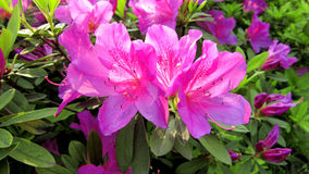 Rhododendron photo stock