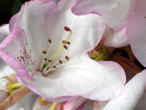 Rhododendron 4. This is a  Rhododendron Stock Photos