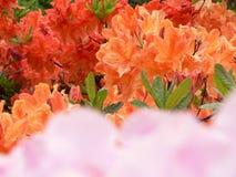 Rhododendron 4 d'Edimbourg Images libres de droits