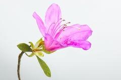 rhododendron Stockfotos