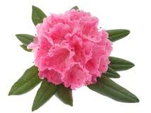 rhododendron Imagem de Stock Royalty Free