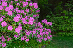 rhododendron Stockfoto