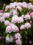 rhododendron photo libre de droits