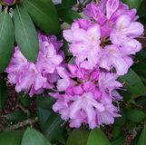 rhododendron Photos libres de droits