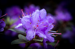 rhododendron Foto de Stock