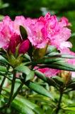 rhododendron Lizenzfreie Stockfotografie