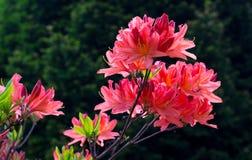 Rhododendron Στοκ Εικόνα