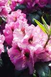 rhododendron Imagem de Stock